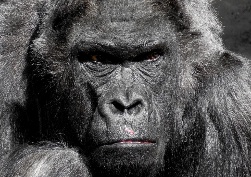 Are You a Poop Eating (Conservative) Gorilla?